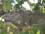Leguan - Iguana in Vallarta