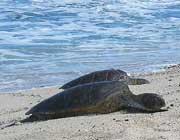Meereschildkröten am Strand (Hawaii)