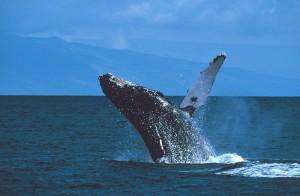 Brustflosse des Buckelwals beim Gruss