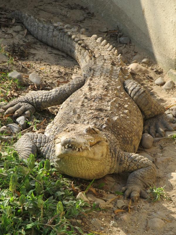 Blindes Krokodil Charly - Foto: Bernhard Matejka